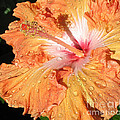 Connie Fox - Orange Hibiscus After...