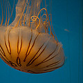 Agrofilms Photography - Orange Jellyfish