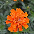 Iris Rivera - Orange Marigold