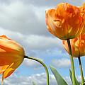 Baslee Troutman Fine Art Photography - Orange Tulip Flowers art...