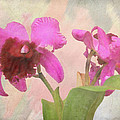 Rosalie Scanlon - Orchid in Hot Pink
