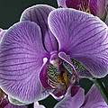 Lawrence Graves - Orchid