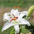 J McCombie - Oriental Lily named...
