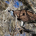 Dawna  Moore Photography - Osprey Blue Springs...