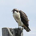 Victoria  Dauphinee - Osprey Chick Testing his...