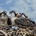 Wes and Dotty Weber - Osprey Family D8707