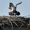 Thomas Samida - Osprey mating