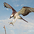 Jerry Fornarotto - Osprey with Talons...