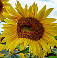 Laura Duhaime - Pac-Man Sunflower