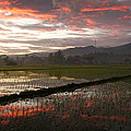 Isabel Poulin - Paddy field during...