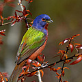 Kathy Baccari - Painted Bunting - Male