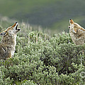 J L Woody Wooden - Pair Of Howling Coyotes ...