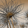 Beverly Guilliams - Pasque Seed Head w...