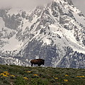 Dan Sproul - Bison On The Range In...