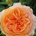 MTBobbins Photography - Peachy Rose