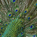Anne Rodkin - Peacock Display