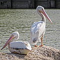 Ella Kaye - Pelicans By The Pair