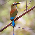 Leslie Reagan -  Joy To The Wild Photos - Perched Turquoise Browed...