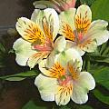 Dean Wittle - Peruvian Lily...