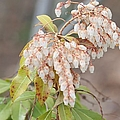 Liane Wright - Pieris Japonica
