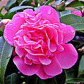 Brian Chase - Pink Camillia
