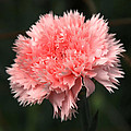 Johnson Moya - Pink Carnation Flower