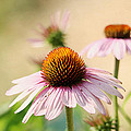 Trina  Ansel - Pink Coneflowers