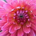 Christiane Schulze Art And Photography - Pink Dahlia