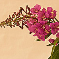 Sandra Foster - Pink Fire Weed Macro