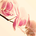Sabine Jacobs - Pink Orchids on Soft...