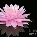 Sabrina L Ryan - Pink Water Lily in a...