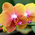 Rona Black - Pink Yellow Orchid