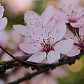 Connie Handscomb - Plum Blossoms Branching...