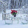Alana Ranney - Poinsettia in the Snow