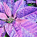Darren Fisher - Poinsettia of Pink and...