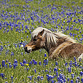 Elena Nosyreva - Pony in bluebonnets