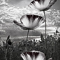 Debra and Dave Vanderlaan - Poppies