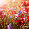 Elena Elisseeva - Poppies in sunshine