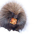 Jim Cumming - Porcupine with Apple