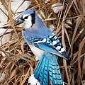 Bill  Wakeley - Portrait of a Blue Jay