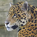 Lingfai Leung - Portrait of A Jaguar