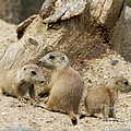 Chris Scroggins - Prairie Dog Pups