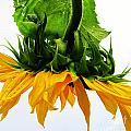Tina M Wenger - Pretty Sunflower Lowest...