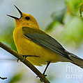 Kathy Baccari - Prothonotary Warbler...