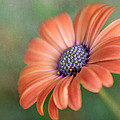 David and Carol Kelly - Proud African Daisy