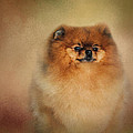 Jai Johnson - Proud Pomeranian