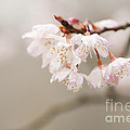 Anne Gilbert - Prunus hirtipes