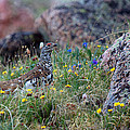 Jim Garrison - Ptarmigan in Spring...