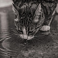 Angela A Stanton - Puddle Drinking Kitty