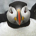 Nina Stavlund - Puffin it Up...